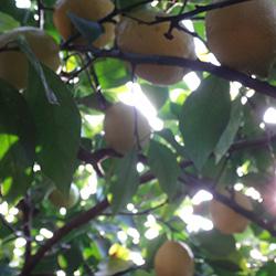 20160103-lemon2.jpg