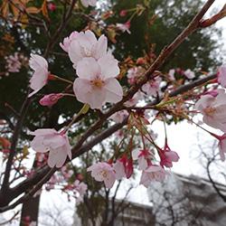 20170321-sakura.jpg