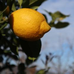 20171220-lemon1.jpg